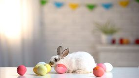 Furry Easter bunny with colored eggs on table, religious holiday greeting, pet. Stock photo stock images