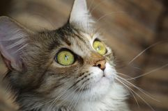 Domestic cat. A tabby furry pet with amber eyes. A furry face of a domestic cat. A small tabby little pet with amber eyes and big whiskers Royalty Free Stock Photo