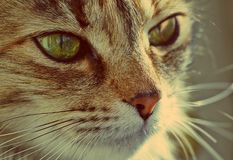 Domestic cat. A tabby furry pet with amber eyes. A furry face of a domestic cat. A small tabby little pet with amber eyes and big whiskers Royalty Free Stock Photography