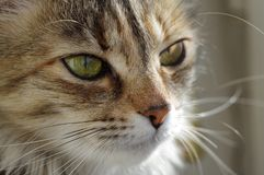 Domestic cat. A tabby furry pet with amber eyes. A furry face of a domestic cat. A small tabby little pet with amber eyes and big whiskers Stock Photo