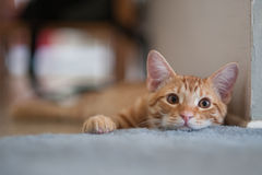 Furry face of an orange Tabby Royalty Free Stock Photo