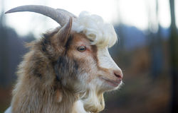 Furry farmyard goat with curly hair Royalty Free Stock Image