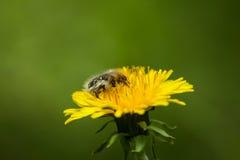 Furry flower beetle feeding on dandelion Stock Photos