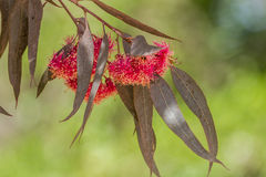 Furry flowers of eucalyptus. Stock Photography