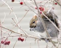 Furry friend feasting. Squirrel eating berries Stock Images
