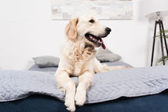 Furry golden retriever dog lying on bed Stock Images