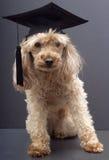 Furry Graduate Stock Photography