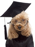 Furry Graduate Royalty Free Stock Photos