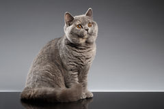 Furry Gray British Cat Sitting, Curious Looks on Dark Background Royalty Free Stock Photography