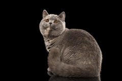 Furry Gray British Cat Sitting, Looking up,  Black Background Royalty Free Stock Photos