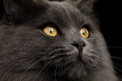 Furry Gray mixed-breed Cat on Isolated black background stock images