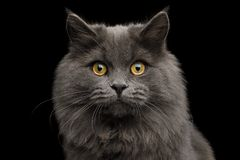 Furry Gray mixed-breed Cat on Isolated black background royalty free stock photos