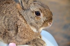 Furry gray rabbit Royalty Free Stock Images
