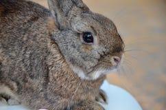 Furry gray rabbit Royalty Free Stock Image