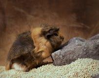 Furry guinea pig stock photography