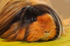 Furry guinea pig Royalty Free Stock Photos