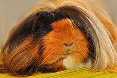 Furry guinea pig Stock Image