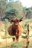 Furry highland cow dutch veluwe site royalty free stock images