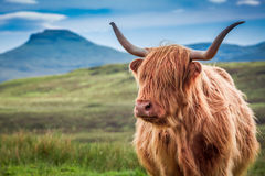 Furry highland cow in Isle of Skye, Scotland. UK royalty free stock photography