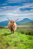 Furry highland cow in Scotland, UK royalty free stock photo