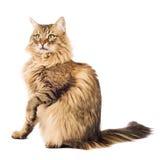furry isolerad white för katt Royaltyfri Bild