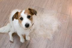 FURRY JACK RUSSELL DOG, SHEDDING HAIR DURING MOLT SEASON, AFTER ITS OWNER BRUSHED OR GROOMING LOOKING UP WITH SAD EXPRESSION stock image
