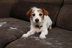 FURRY JACK RUSSELL DOG, SHEDDING HAIR DURING MOLT SEASON PLAYING ON SOFA.  stock photos