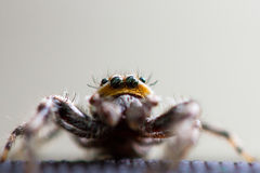 Furry jumping spider. Furry gold yellow fuzzy jumping spider with black eyes hair spikes Stock Images