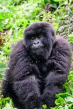 Furry juvenile mountain gorilla Stock Photo