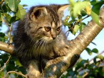 Furry kitten in Tree Royalty Free Stock Photo
