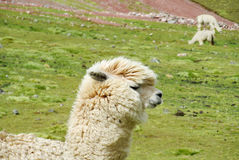 Furry lama on green meadow Stock Images