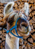 Furry lama looking curious. A very curious lama looking straight in my camera Stock Photo