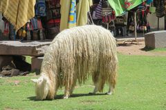 Furry lama on market square. In South America Royalty Free Stock Image