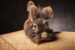 Furry lion head rabbit bunny lying on a wood box. Stock Photo