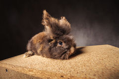 Furry lion head rabbit bunny lying on a wood box Royalty Free Stock Photography