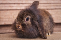 Furry lion head rabbit bunny sitting on wood background Stock Photos