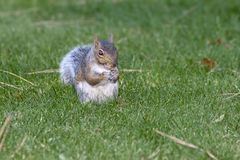 Furry little squirrel. Stock Image