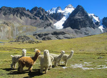 Furry llamas and alpacas on green meadow in Andes snow caped mountains. The llama, lama and alpaca domesticated South American camelid animals on the green stock images