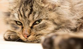 Furry Maine Coon cat sleeps. In the house Royalty Free Stock Photos