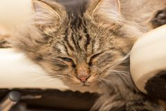Furry Maine Coon cat sleeps. In the house Stock Photos