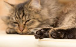 Furry Maine Coon cat sleeps. In the house Royalty Free Stock Images