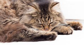 Furry Maine Coon cat sleeps. In the house Stock Images