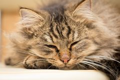 Furry Maine Coon cat sleeps. In the house Royalty Free Stock Photo