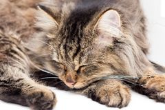 Furry Maine Coon cat sleeps. In the house Stock Photography