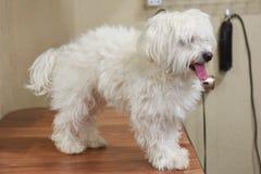 Furry maltese dog close up. Stock Photography
