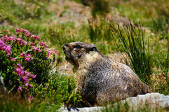 Furry Marmot next to Pink Flowers Stock Image