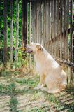 A furry, mongrel dog of beige color sits on the ground near a fence. Vertical photography. royalty free stock photos