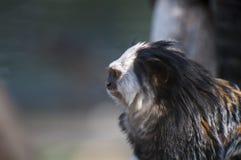 Furry monkey Royalty Free Stock Images