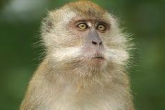 Furry monkey thinking Stock Image
