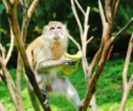 Furry monkey Stock Image